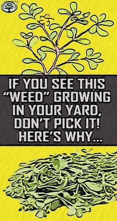 IF YOU SEE THIS WEED GROWING IN YOUR YARD DON'T PICK IT! HERE'S WHY.. Health And Wellness Quotes, Health And Fitness Tips, Wellness Tips, Health And Wellbeing, Deep Blackheads, Pimples, Healthy Pastas, Good Healthy Recipes, Dandelion Oil