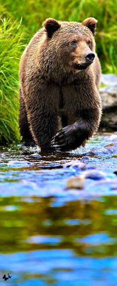 AWESOME FACTOID: The bite of a grizzly bear can crush a bowling ball. Nature Animals, Animals And Pets, Cute Animals, Wild Life Animals, Baby Animals, Bear Pictures, Animal Pictures, Bear Photos, Beautiful Creatures