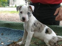 Blue merle pit. Oh. my. god.