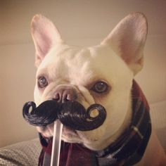 """I Am The Frito Bandito, and I have come to solve the Mystery of the Missing Frito's"", funny French Bulldog in a Mustache"