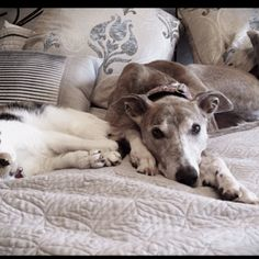 Who says cats & greyhounds can't get on? This is my greyhound, Mina,  and Tula, my cat.