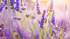 Sunny Day Lavender Bee Picking Pollen Wide HD Wallpaper