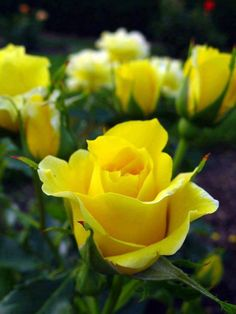 THE FRIENDSHIP OF A YELLOW ROSE....