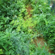 Will Dill Re-Seed Itself? Growing Vegetables, Seeds, Garden, Lawn And Garden, Gardens, Planting Vegetables, Grains, Outdoor, Home Landscaping