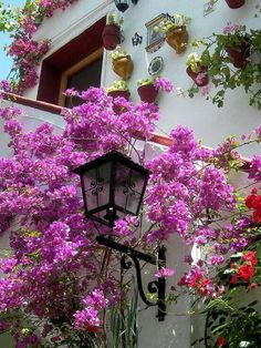 Bougainvillea growing up against a wall.