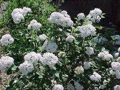 Viburnum carlesii 'Compactum' - aka Korean spice viburnum. Fragrant snowball-shaped flower clusters in spring.