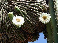 Saguaro Cactus Flowers: Saguaro Blooming