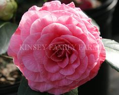 'In The Pink' Camellia japonica. Soft pink formal flowers. Spring. Kinsey Family Farm Gainesville, GA.