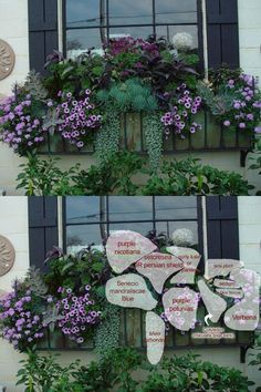 The success of this window box has little to do with the flowers. The color of the foliage is the story. The blue green foliage makes the carmine purple petunias pop.