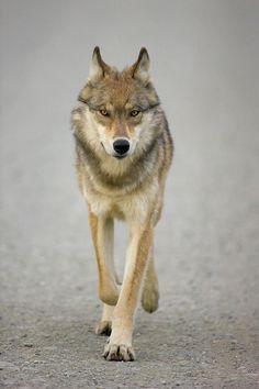 "beautiful-wildlife: "" Gray Wolf by © Animals and Earth Denali National Park, Alaska """