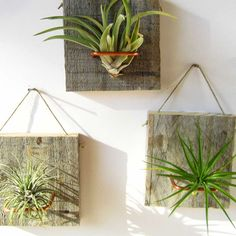 Wall Mounted Air Plants - Set of 3