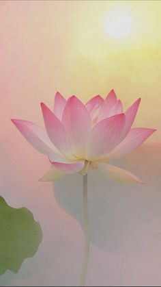 Lotus Flower Pictures, Lotus Flower Art, Flower Images, White Lotus Flower, Happy Flowers, Flowers Nature, Exotic Flowers, Beautiful Flowers, Scenery Wallpaper