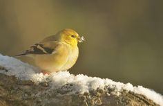 American Goldfinch (m) 2013-12-10a