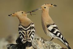 I had it first,  these are Hoopoe