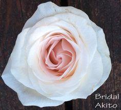 Bridal Akito Rose