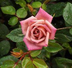 Rose Database ... Chipmunk