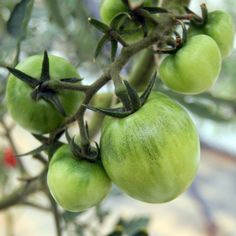 Blue Tomato Speckled Blue ブルー・トマト・スペックルド・ブルー