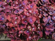 Hydrangea Fabulous Splash Hydrangea Macrophylla, Farms, Plants, Photos, Hydrangeas, Homesteads, Pictures, Plant, Planets