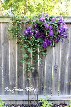 How To Plant A Fence Row Garden. Climbing Clematis, Climbing Hydrangea, Climbing Flowers, Climbing Vines, Amazing Gardens, Beautiful Gardens, Vine Fence, Moon Garden, Dream Garden