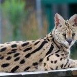 O'Malley - TWS Resident (African Serval)