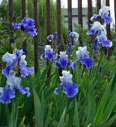iris bearded blue - Google Search