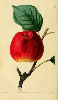The Red Astrachan Apple - Lindley, John, 1799-1865