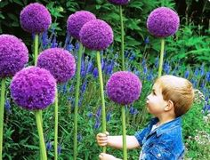 "The kids call them truffula flowers. ""Allium Gladiator"" have large, ball-shaped purple flowerheads, 6-9 inches across with silver tips. Blooms late spring, early summer. Great as long-lasting cut flower. Height: 4-5 feet (Bulb)"