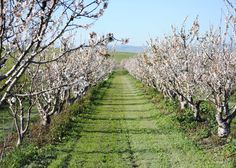 Orchard in Bloom, San Benito County