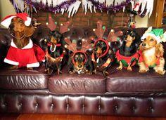 Santa Dox and eight tiny raindogs
