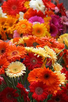 Gerbera Daisies. My other favourite flower. Love the colours they come in.