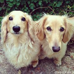 Hatch and Nico are long-haired miniature dachshund with a special talent for balancing food on their heads.