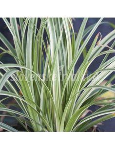 Carex morrowii 'Silver Sceptre' - eshop