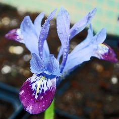 Iris reticulata 'Halkis'