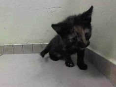 TO BE DESTROYED 6/24/14 ** BABY ALERT! ONLY 9 WEEKS OLD! Brooklyn Center  My name is PRISCILLA. My Animal ID # is A1003914. I am a female torbie domestic sh mix. The shelter thinks I am about 9 WEEKS old.  I came in the shelter as a STRAY on 06/20/2014 from NY 11434. I came in with Group/Litter #K14-182708.
