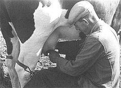 koe melken met de hand; mijn opa leunde altijd met zijn pet tegen de buik van de koe