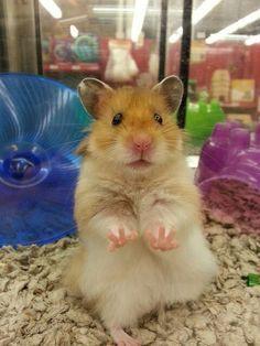 ♥ Small Pets ♥  Hamster cuteness