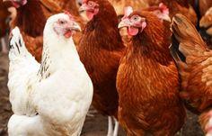 #Ophokplicht voor #pluimvee wegens #vogelgriep! #tips #kippen #hortadendauw #kuurne #kortrijk