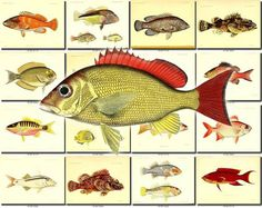 FISHES-54 Collection of 203 vintage images Grouper Torsk Rud bicus, Ostracion Quadricornis, Ostracion Trigonum, Ostracion Trigonus, Ostracion Triqueter, Ovoides Fasciatus, Painted Sweetlip, Palette Surgeonfish, Pebbled Butterflyfish, Pegasus Draconis, Pennant Coralfish, Pentapus Aurolineatus, Perca Asper, Perca Zingel, Petromizon Marinus, Petromyzon Branchialis, Petromyzon Fluviatilis, Petromyzon Planeri, Picked Dog, Pikehead, Pinecone Soldierfish, Pink or