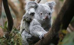 filhote de coala passeia com mãe Goonderrah