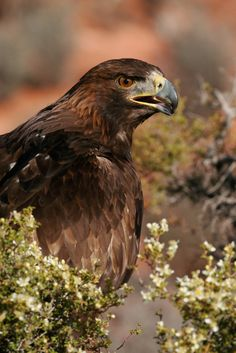 ☀Golden Eagle-2.jpg by Lynn Chamberlain on Flickr*