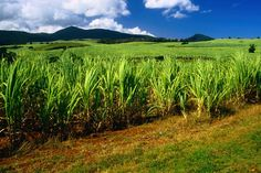 Guadeloupe, sugar cane fields