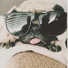 Pugs in wayfarers never disappoint. Please follow this little pug nugget @krystalappeldoorn ! #pugsofinstagram