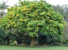 "National Tree of the Philippines ""Narra"" Pterocarpus indicus El Filibusterismo, Best Herbs To Grow, Amboyna Burl, Shady Tree, Mystical Forest, Mindanao, Deciduous Trees, Growing Tree, Borneo"