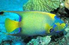 fish coral underwater scuba queen caribbean reef angelfish bonaire queenangelfish netherlandantilles specnature 250v10f