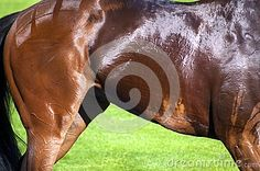 The side of a horse, detailing its muscles and veins