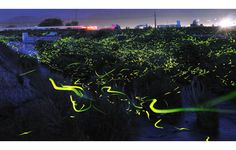 Photograph by Digital Photo Blog @ digitalphoto.cocolog-nifty.com   Japanese photographer Yuki Karo captured these stunning long exposure photographs of mating fireflies in and around the Maniwa and Okayama Prefectures in Japan between 2008 – 2011. Shooting long exposures at night can be challenging, but Yuki has done well to capture this beautiful moment in [...]