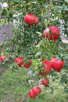 Tropical Fruit Names | Live Pomegranate Tropical Fruit Tree Seedling Punica Granatum Granada ...