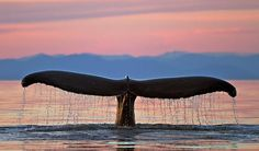 Whales Tails at Sunset | Whale tail ... spectacular image set against Alaskan sunset