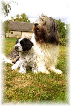 schapendoes dog photo | schapendoes puppies: août 2010 Dog Photos, Puppies, Collie, Doggies, Sheep, Dutch, Dutch Shepherd Dog, Dogs, Animaux