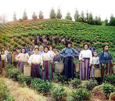 Prokudin. 1907 \ 1915. Trabajadores griegos recogiendo hojas de té, en la costa este del Mar Negro.